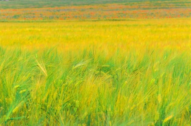 Fond d'épis de blé jaune dans le champ Photo Premium