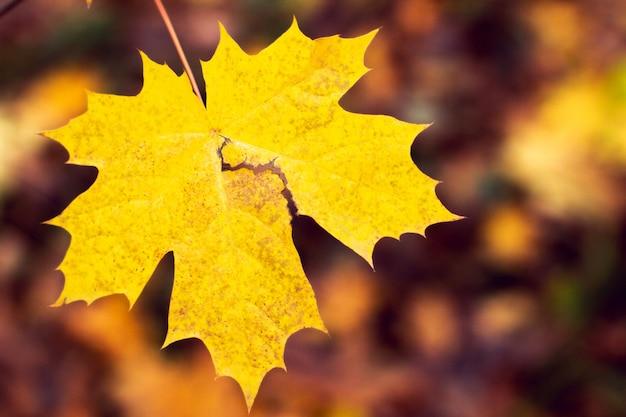 Fond de feuille d'érable automne Photo Premium
