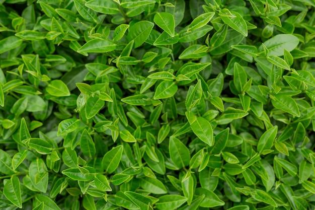 Fond de feuille de thé vert dans les plantations de thé. Photo gratuit