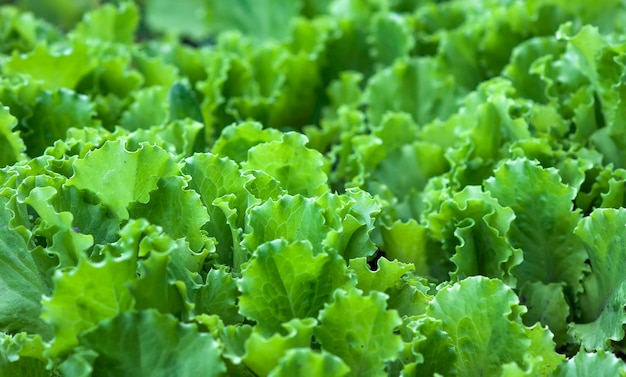 Fond De Feuilles De Salade Verte Photo Premium