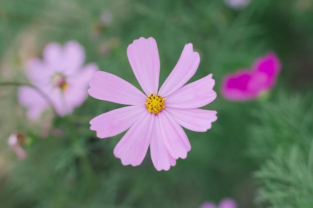 Fond de fleur cosmos rose (cosmos bipinnatus) Photo Premium