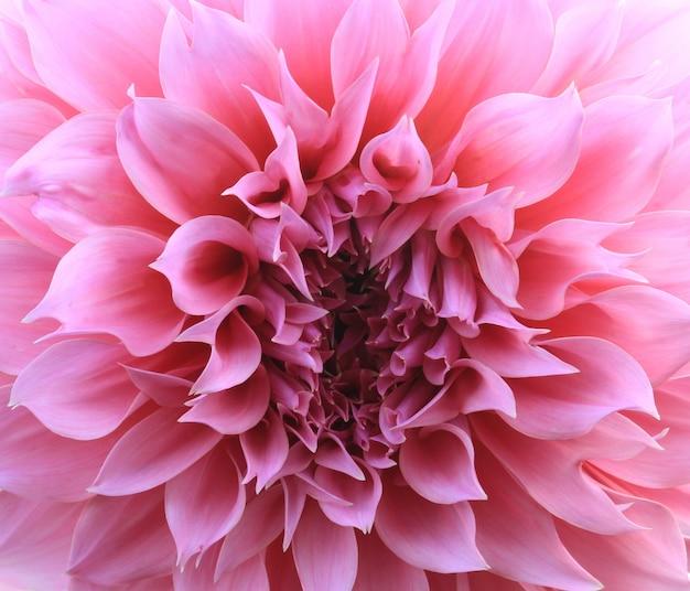 Fond de fleur de dahlia rose Photo Premium