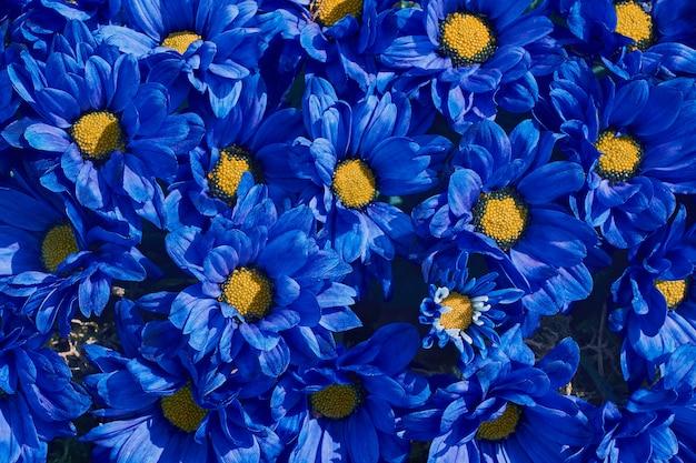 Fond De Fleurs Bleues Chrysanthème Bleu. . Photo Premium