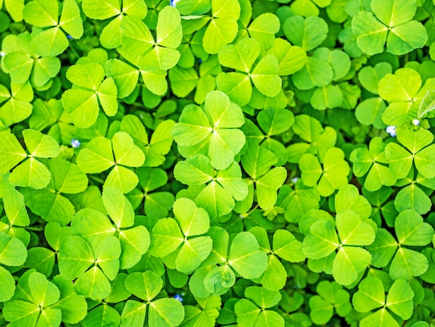 Fond d'herbe trèfle printemps vert Photo Premium