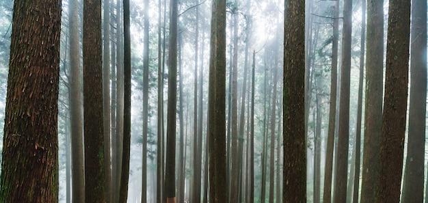 Fond de lumière directe du soleil à travers les arbres avec le brouillard dans la forêt à alishan. Photo Premium
