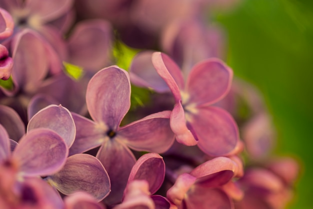 Fond Macro Fleurs Lilas Photo Premium