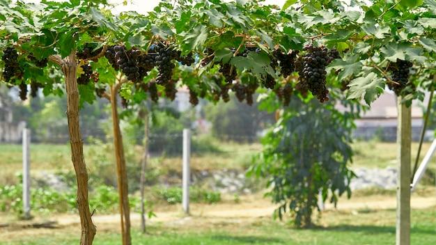 Fond De Nature Vignobles En Plein Air Au Coucher Du Soleil Photo Premium