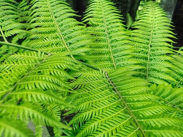 Fond plein cadre de feuilles de fougère verte fraîche Photo Premium