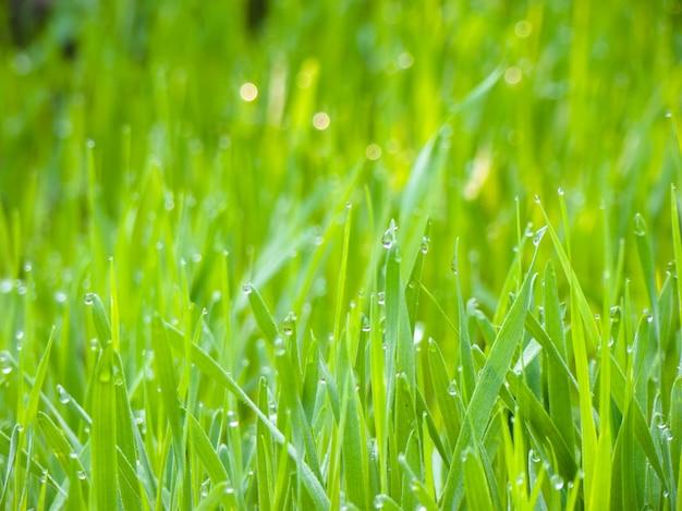 Fond de rosée tombe sur l'herbe verte brillante dans le jardin. Photo Premium