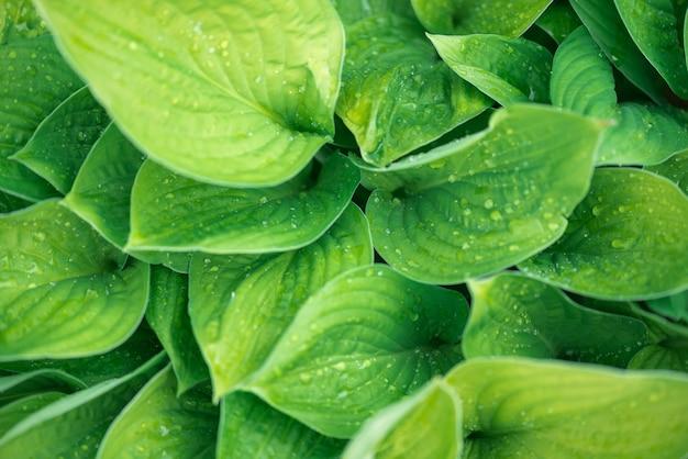 Fond vert la plante après la pluie, des gouttes d'eau sur les grandes feuilles des hôtes. Photo Premium