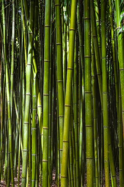 Foret de bambou. Photo Premium