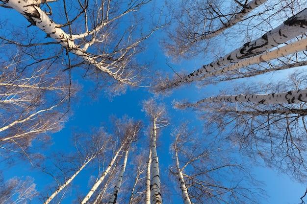 Forêt de bouleaux en hiver Photo gratuit
