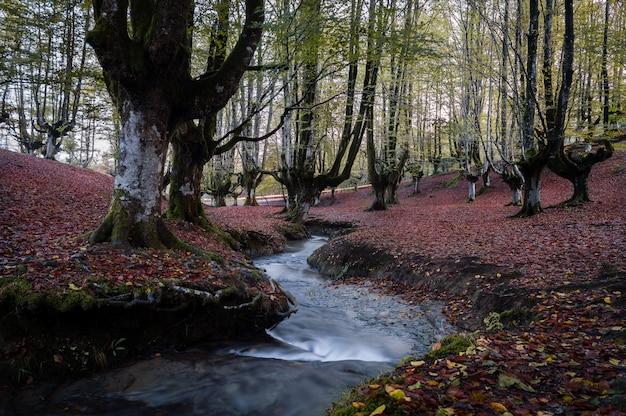 Forêt de hêtres colorée, avec un joli ruisseau passant entre les grands arbres Photo Premium