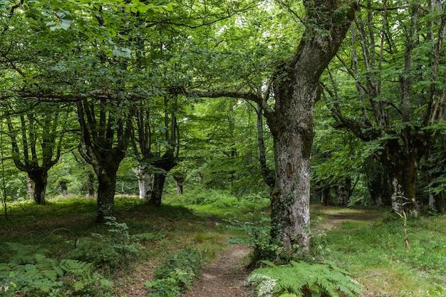 Forêt de hêtres et feuillage dense dans un paysage vert profond Photo Premium