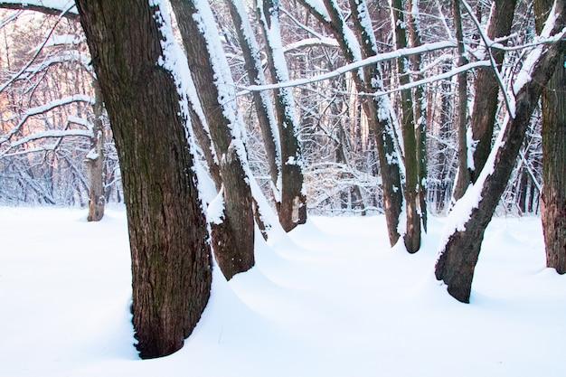 Forêt d'hiver dans les congères, bosquet impraticable d'arbres en hiver au coucher du soleil. Photo Premium