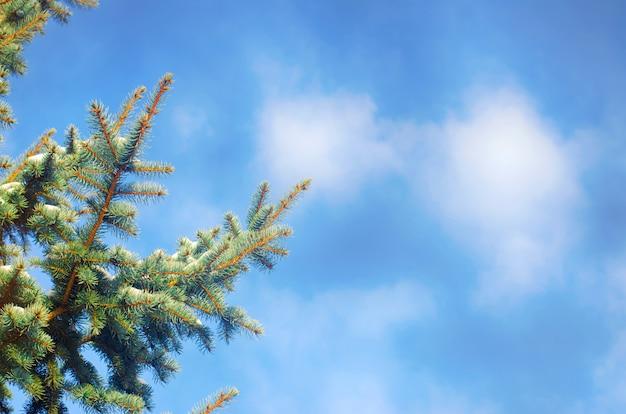 Forêt d'hiver. le printemps arrive. sapins contre le ciel bleu. journée claire et ensoleillée. Photo Premium