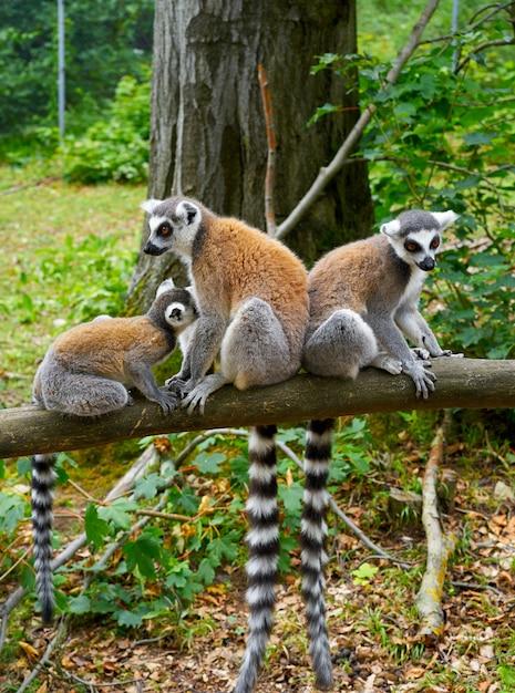 Forêt de lémuriens Photo Premium