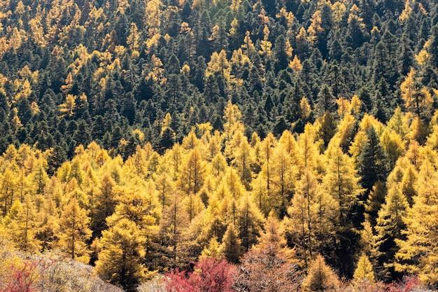 Forêt de pins dorés sur la colline Photo Premium