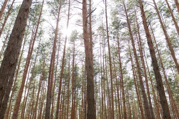 Forêt de pins saison estivale Photo Premium
