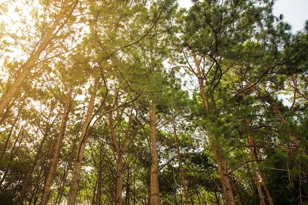 Forêt de pins verts naturels Photo Premium