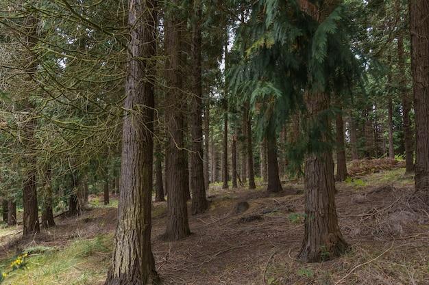 Forêt de pins Photo Premium