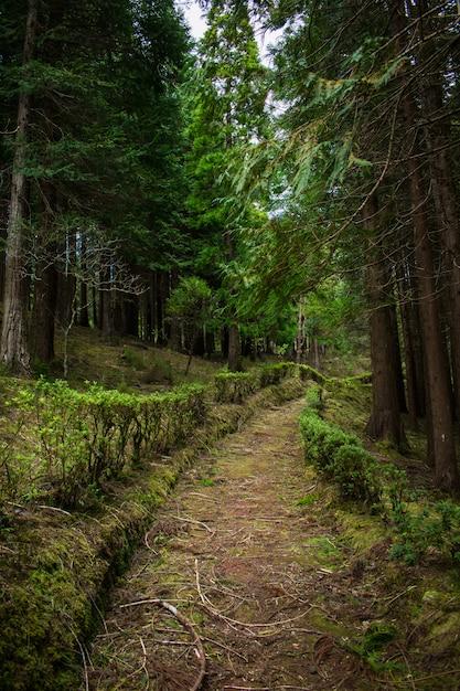 Forêt à sao miguel, açores, portugal. grands arbres. Photo Premium