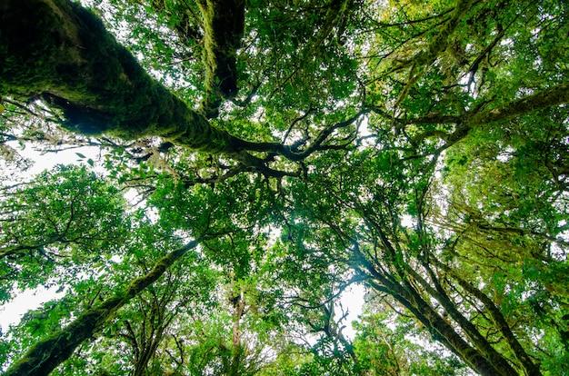 Forêt tropicale de doi inthanon forêt de nuages de chiang mai, thaïlande Photo Premium