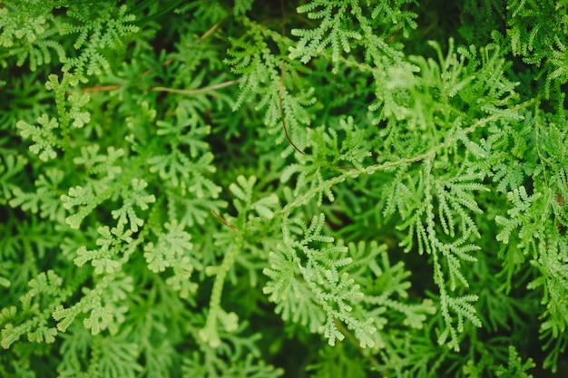 Fougères vertes fond. Photo Premium