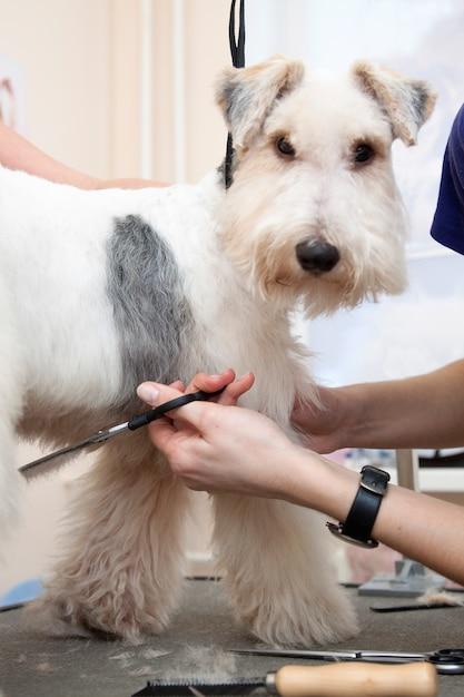 Fox terrier se faisant couper les cheveux Photo Premium