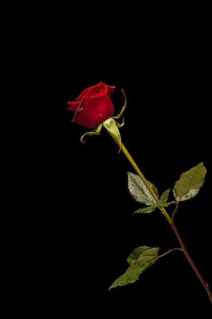 Fragile rose sur fond noir Photo gratuit