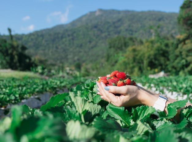 Fraise dans la main d'un fruitier. Photo Premium