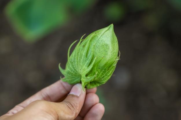 Fruit de coton frais dans la main Photo Premium