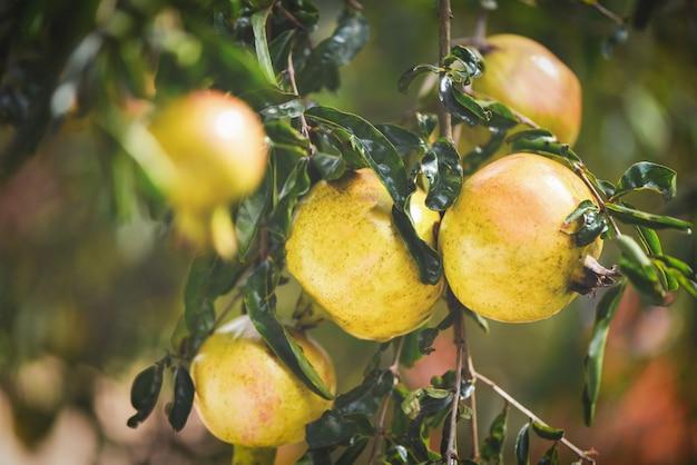 Fruit de la grenade sur le fond de jardin arbre été été asie grenade Photo Premium