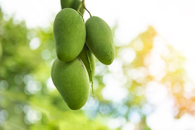 Fruit de mangue verte fraîche suspendu à un manguier dans la ferme de jardin agricole avec la nature verte flou et bokeh Photo Premium