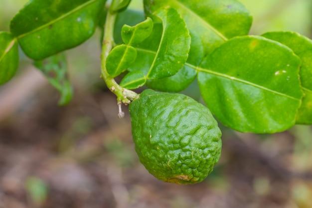 Fruits de citron vert ou bergamote sur l'arbre Photo Premium