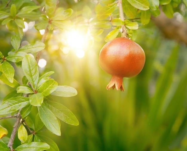 Fruits de grenade mûrs. Photo gratuit