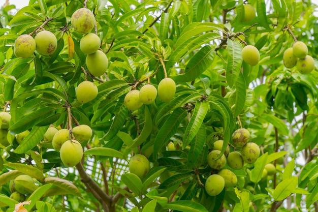 Fruits de mangue verte sur les branches de manguier. Photo Premium
