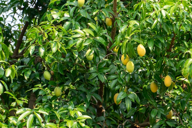 Fruits de prunes et de mangue en été. couleur jaune cher mais délicieux. Photo Premium