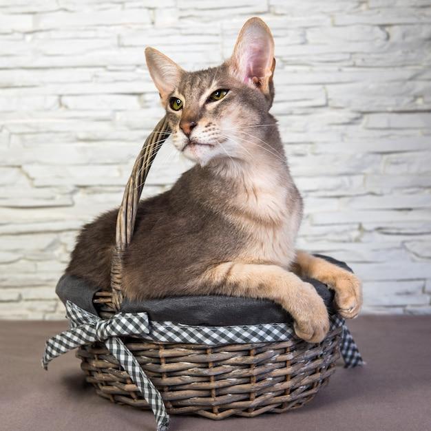 Funny Cat Oriental Dans Un Panier Photo Premium