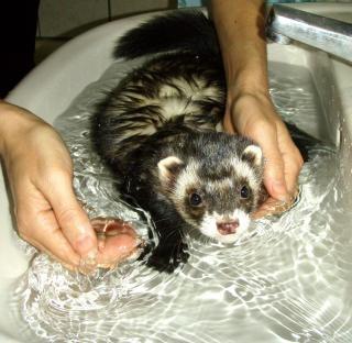 Furet heure du bain Photo gratuit