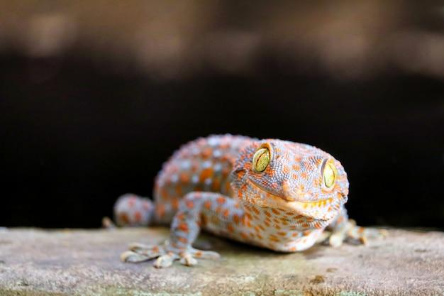 Gecko est tombé du mur dans le réservoir d'eau et a grimpé au bord du bassin Photo Premium
