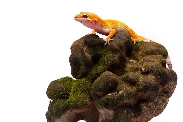 Gecko léopard sur fond blanc Photo Premium