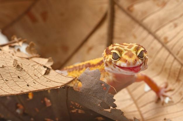 Gecko léopard sur fond de feuille Photo Premium