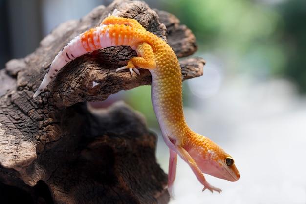 Gecko léopard sur fond naturel Photo Premium