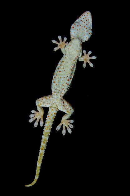 Gecko rampe devant le miroir de fenêtre, gecko sur un fond noir. Photo Premium