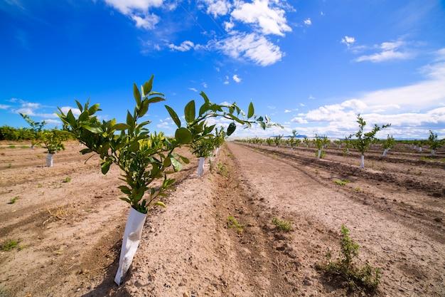 Germes d'oranger avec le tronc protégé contre les rongeurs Photo Premium