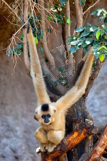 Gibbon de joues d'or, nomascus gabriellae Photo Premium