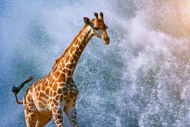 Girafe en cours d'exécution sur les éclaboussures d'eau b Photo Premium