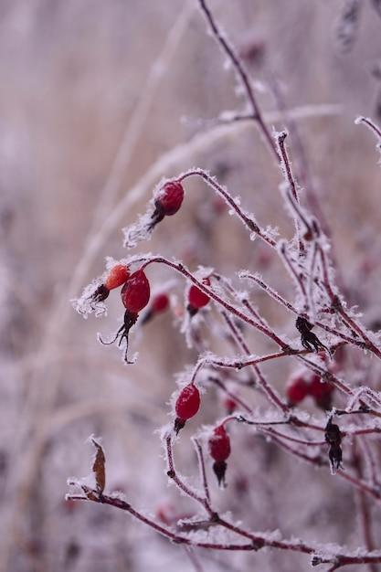 La Glace Et La Neige Sur Une Brindille De Fruits De Briar Rouge Congelés Avec Copie Espace Photo Premium