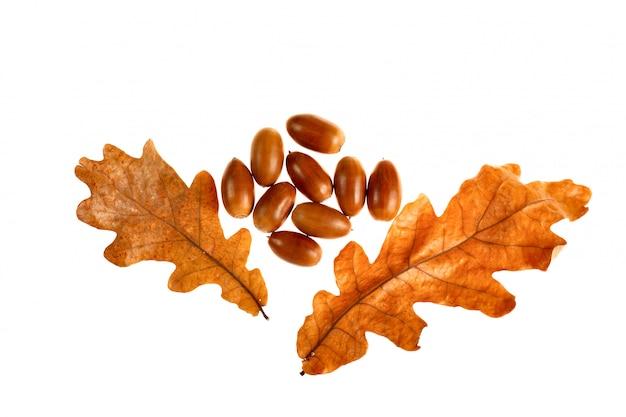 Glands à feuilles de chêne Photo Premium